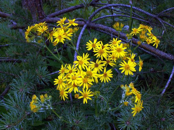 лесные цветы фото и названия: