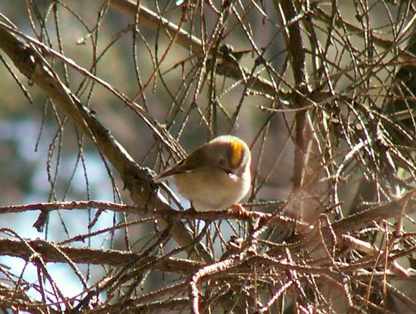 Зимующие птицы смоленска картинки