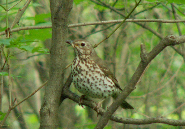 Утром в лесу сейчас поют все.  Вот наш старый знакомый зяблик, тоже птица из второй волны, как и дрозд.