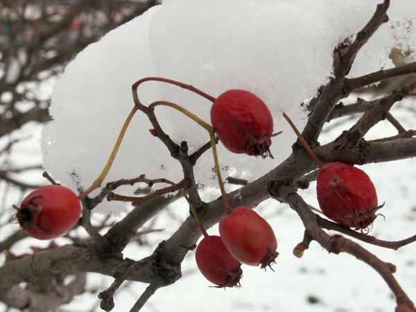 Уже здесь скоро появятся и снегири их