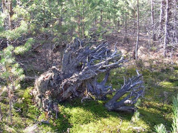 ЛЕСОКРУТ. Сушёный корень