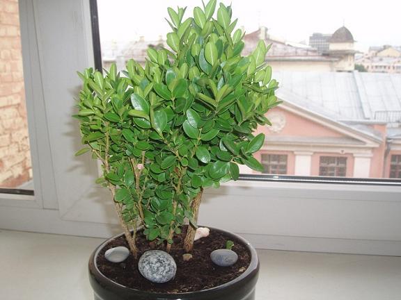 бюджетное учреждение самшит растение как комнатное отзывы что