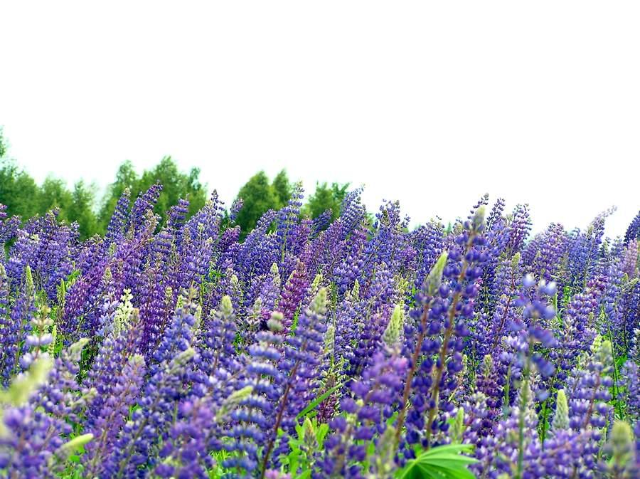 цветок люпин фото: