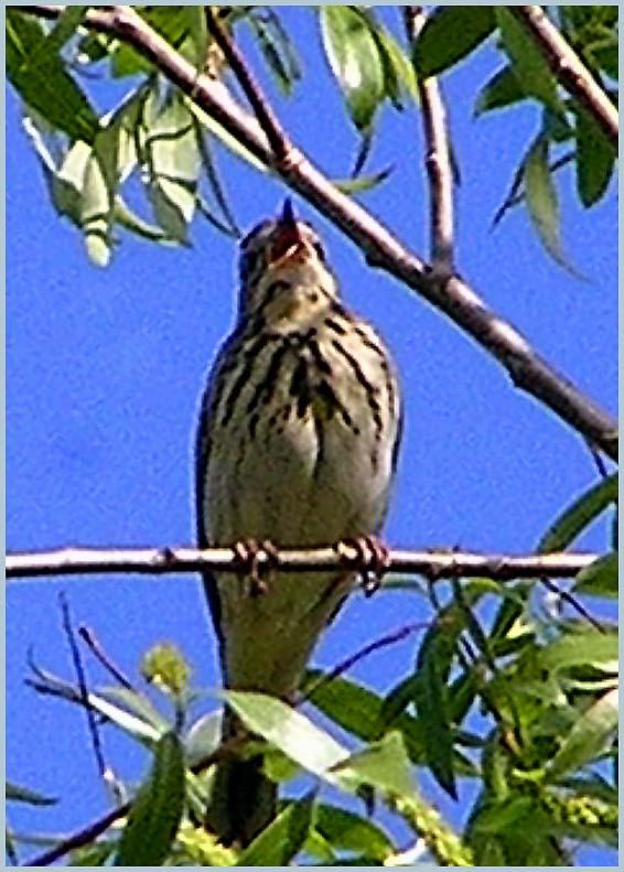 Обновлено: 04/06/2006.  0k.  Птица лесной конёк.  Copyright.  Статистика.  Россия средняя.