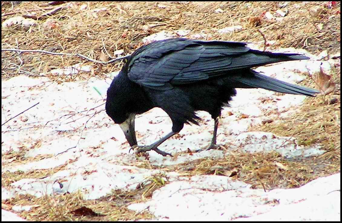 Фото 7. Птицы.  Разнообразен и мир пернатых: глухари (Tetrao urogallus.