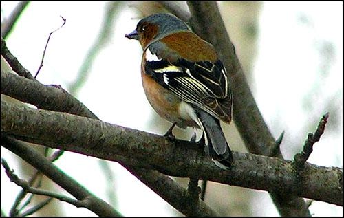 Самая многочисленная певчая птица лесов России.