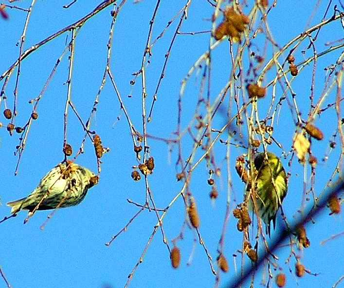 Отчет: Чижи И Чечётки - Зимующие Птицы.